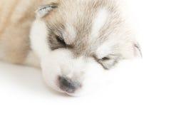 Welpen des sibirischen Huskys, die mit lokalisiertem Hintergrund schlafen Lizenzfreie Stockbilder