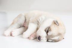 Welpen des sibirischen Huskys, die mit lokalisiertem Hintergrund schlafen Lizenzfreies Stockfoto