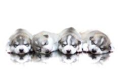 Welpen des sibirischen Huskys, die mit lokalisiertem Hintergrund schlafen Stockfotos