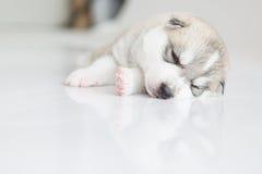 Welpen des sibirischen Huskys, die mit lokalisiertem Hintergrund schlafen Stockfotografie