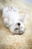 Welpen des sibirischen Huskys, die mit lokalisiertem Hintergrund schlafen Stockbilder