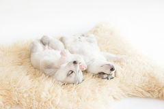 Welpen des sibirischen Huskys, die mit lokalisiertem Hintergrund schlafen Lizenzfreies Stockbild