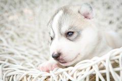 Welpen des sibirischen Huskys, die mit lokalisiertem Hintergrund schlafen Lizenzfreie Stockfotografie