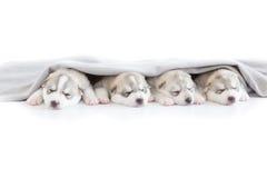 Welpen des sibirischen Huskys, die mit lokalisiertem Hintergrund schlafen Lizenzfreie Stockfotos