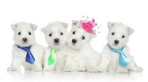 Welpen des Westhochland-weißen Terriers Stockfotos