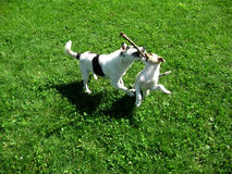 Welpen, die auf dem Gras spielen Lizenzfreie Stockfotografie