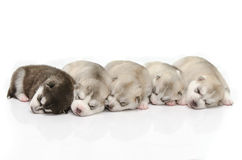 Welpen, die zusammen schlafen Lizenzfreie Stockfotografie