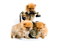 Welpen eines Spitzhundes mit Telefon Stockfotografie