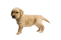 Welpen-goldener Apportierhund Stockfotografie
