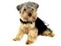 Welpen-Hund Stockfotografie