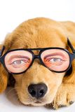 Welpen-Hund mit lustigen Gläsern Stockfotos