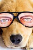 Welpen-Hund mit lustigen Gläsern Stockfotografie
