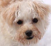 Welpen-Hundeaugen Lizenzfreies Stockbild