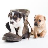 Welpen Jack-Russles im Schuh Lizenzfreies Stockfoto