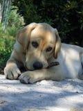 Welpen-Labrador-Apportierhund Lizenzfreie Stockbilder