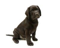 Welpen-Labrador retriever-Schokoladenfarbe auf einem weißen Hintergrund Stockbilder
