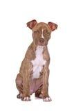 Welpen-Pitbull   Stockbilder