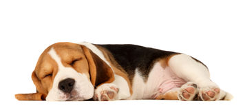 Welpen-Spürhund stockfotos