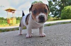Welpen von Jack Russell-Terrier Stockfotografie