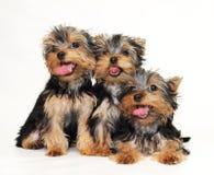 Welpen Yorkshire-Terrier Lizenzfreie Stockfotos