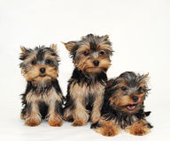 Welpen Yorkshire-Terrier Stockfotografie