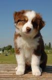 Welpenaustralierschäferhund Lizenzfreie Stockfotos