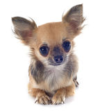 Welpenchihuahua Stockfoto