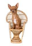 Welpenchihuahua auf Stuhl stockbilder
