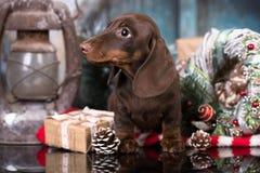 Welpendachshund und Weihnachtsgeschenk stockfotografie