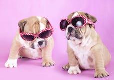 Welpenenglisch Bulldogge stockbilder