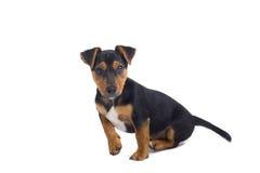 Welpenhund stockfoto