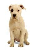 Welpenhund Lizenzfreies Stockfoto