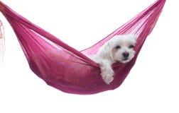 - Welpenhund in der Hängematte gerade herum hängen Stockfoto