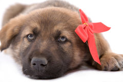 Welpenhund, der sich hinlegt lizenzfreie stockbilder