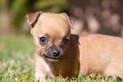 Welpenhund im Gras Stockfotografie