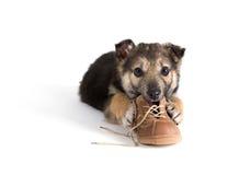 Welpenhund mit Schuhen Stockfotos