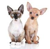 Welpenhund und Devon rex Katze auf einem weißen Hintergrund Stockbilder