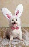 Welpenhundetragendes Häschen-Kaninchenohrkostüm Lizenzfreie Stockfotos