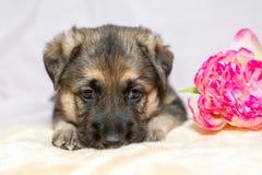 Welpenschäferhund Lizenzfreie Stockbilder