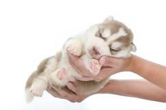 Welpenschlaf des sibirischen Huskys in der Hand lizenzfreie stockfotos