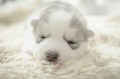 Welpenschlafen des sibirischen Huskys stockbilder