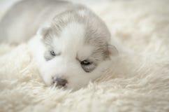 Welpenschlafen des sibirischen Huskys lizenzfreie stockfotografie