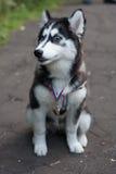 Welpenschlittenhund mit einer Medaille Stockfoto