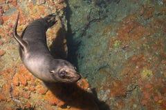 Welpenseelöwe Unterwasser, Sie betrachtend Stockfotografie