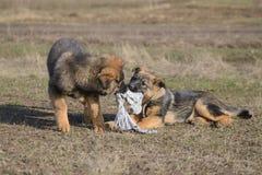 Welpenspielen des Schäferhunds zwei stockfoto