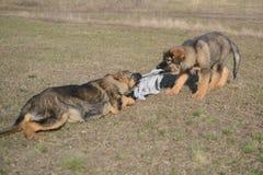 Welpenspielen des Schäferhunds zwei Stockbilder