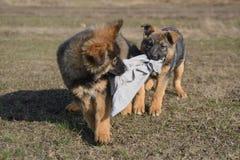 Welpenspielen des Schäferhunds zwei lizenzfreie stockfotografie