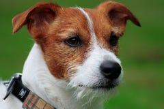 Welpensteckfassung Russell-Terrier Stockbild