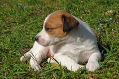 Welpensteckfassungsrussel-Terrier Lizenzfreie Stockbilder