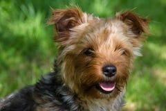 Welpenyorkshire-Terrier Lizenzfreies Stockfoto